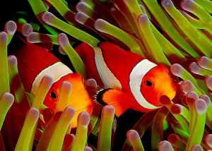 Clownfish_in_Green_Anemone