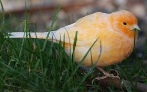 Orange_Canary__by_Etinogard
